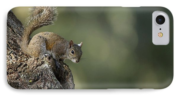 Eastern Gray Squirrel, Or Grey Squirrel IPhone Case by Pete Oxford