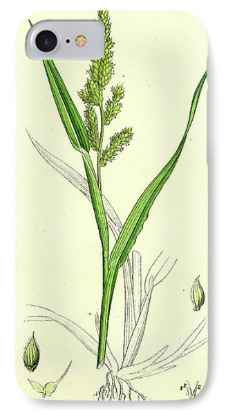 Echinochloa Crus-galli Loose Panic-grass IPhone Case by English School