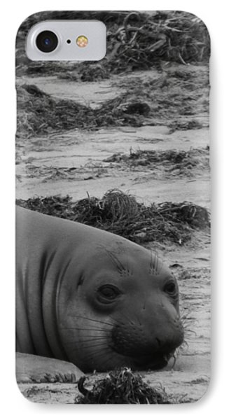 Elephant Seal Conteplation IPhone Case by Gwendolyn Barnhart
