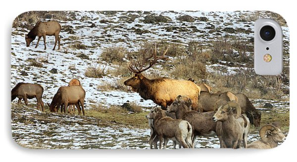 Elk With Big Horn Sheep, Oak Creek IPhone Case by Tom Norring