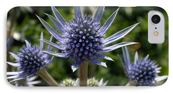 Eryngium Bourgatii. IPhone Case by Terence Davis
