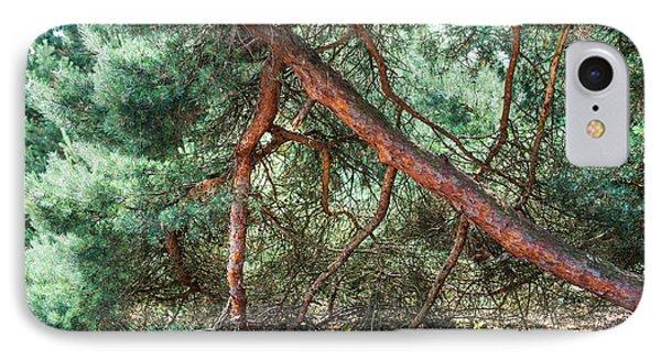 Falling Pine Tree In Veluwe National Park. Netherlands. Phone Case by Jenny Rainbow