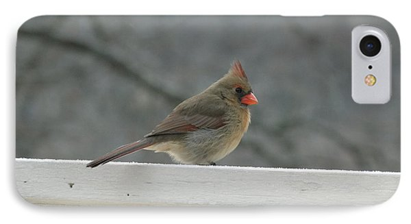 Female Cardinal Posing IPhone Case by Cindy Croal