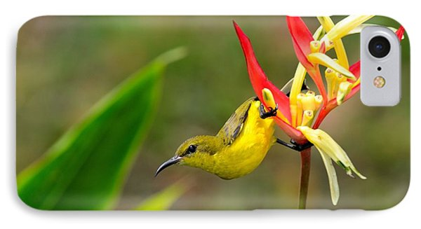 Female Olive Backed Sunbird Clings To Heliconia Plant Flower Singapore IPhone Case by Imran Ahmed