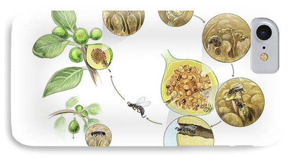 Fig Wasp Life Cycle IPhone Case