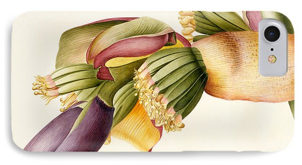 Flower Of The Banana Tree  IPhone Case by Georg Dionysius Ehret