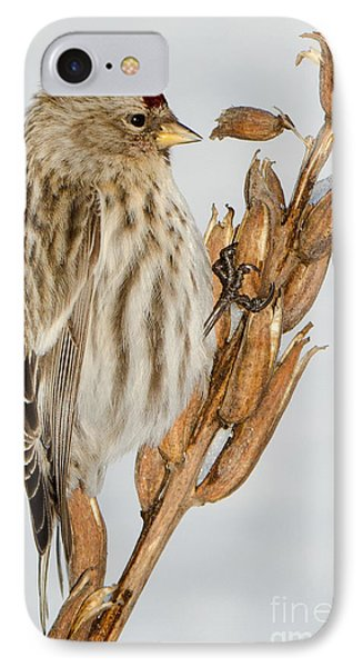 Foraging Redpoll IPhone Case by Stephen Flint