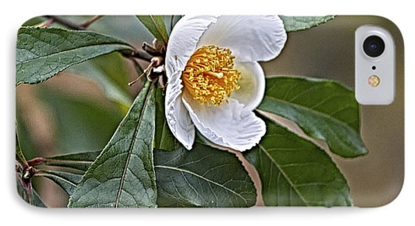 Franklinia Blossom  IPhone Case by Constantine Gregory