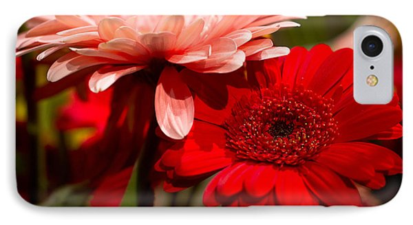 Gerbera Daisies IPhone Case