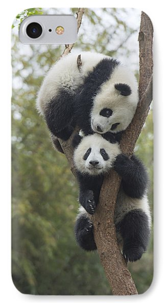 Giant Panda Cubs Playing Chengdu IPhone Case by Katherine Feng