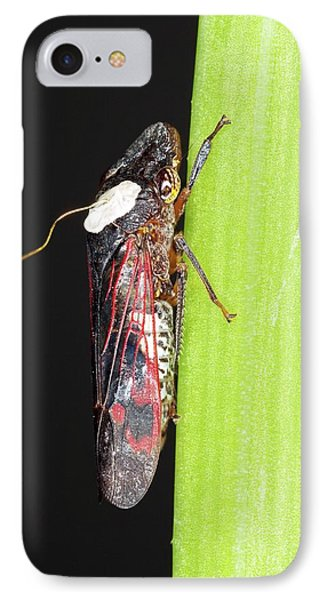 Glassy-winged Sharpshooter Research IPhone Case by Stephen Ausmus/us Department Of Agriculture