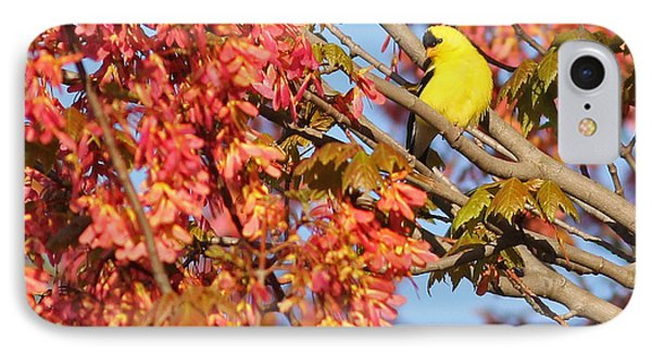 Goldfinch In Spring Maple Tree IPhone Case