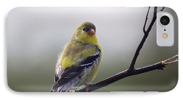 IPhone Case featuring the photograph Goldfinch Molting To Breeding Colors by Susan Capuano