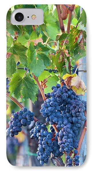 Grapes Ready For Harvest On The Tuscan IPhone Case by Terry Eggers