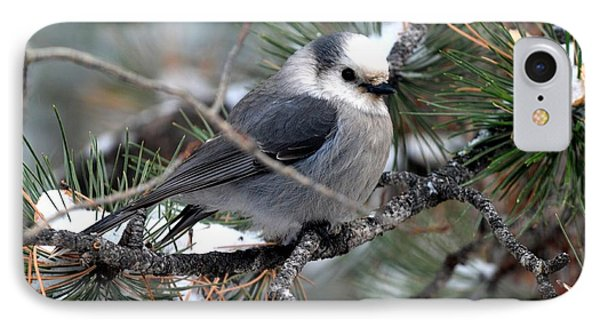Gray Jay On A Snowy Pine IPhone Case
