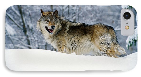 Gray Wolf In Snow, Montana, Usa IPhone 7 Case