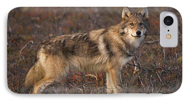 Gray Wolf On Tundra In Denali IPhone Case by Yva Momatiuk John Eastcott