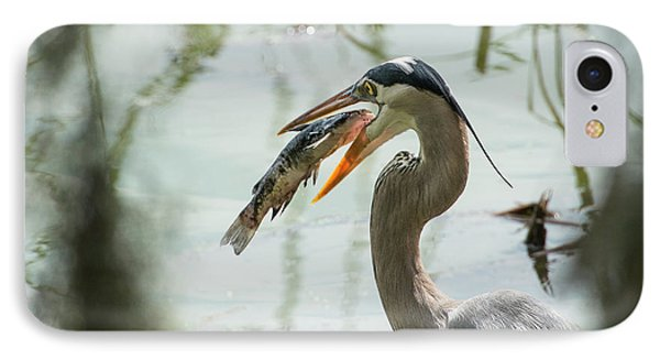 Great Blue Heron With Fish In Mouth IPhone 7 Case by Sheila Haddad