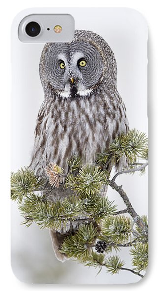 Great Grey Owl On Pine Tree Finnish IPhone Case by Jules Cox