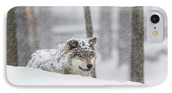 Grey Wolf  Canis Lupus  During A Snow IPhone Case by Dominic Marcoux