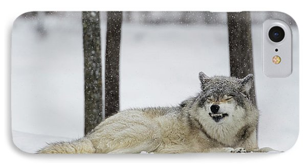 Grey Wolf  Canis Lupus  Showing IPhone Case by Dominic Marcoux