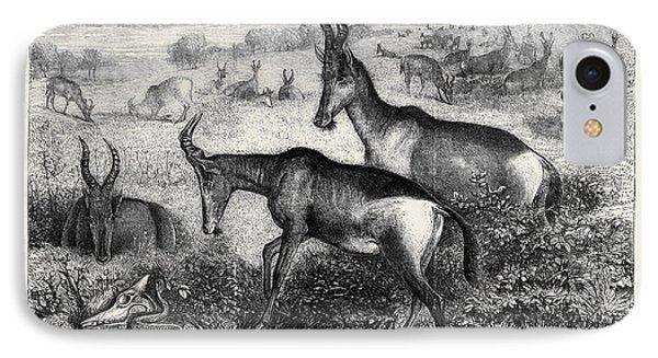 Hartebeeste Antelopes IPhone Case by English School