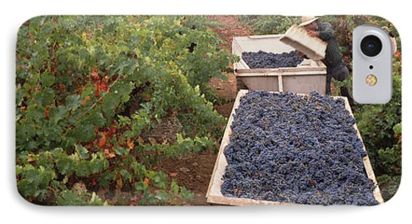Harvesting Grapes In A Vineyard, Napa IPhone Case by Panoramic Images