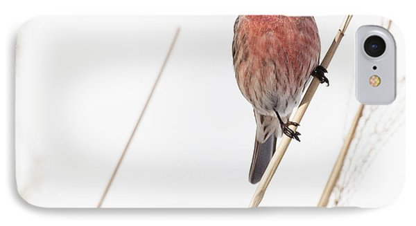 House Finch Male Square IPhone Case