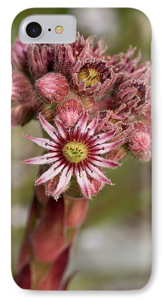 Houseleek (sempervivum Tectorum) Flowers IPhone Case by Bob Gibbons