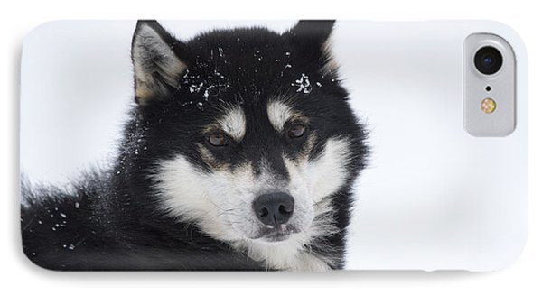 Husky Dog Breading Centre IPhone Case by Lilach Weiss