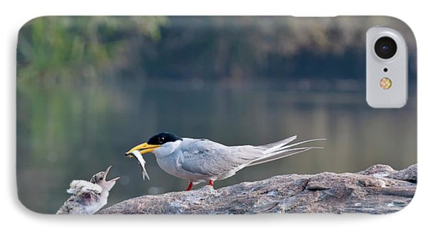 Indian River Tern Feeding Chick IPhone Case by K Jayaram