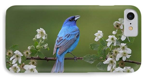 Indigo Bunting On Berry Blossoms IPhone Case by Daniel Behm