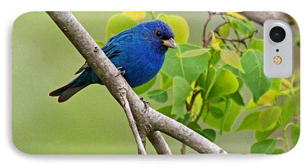 Blue Indigo Bunting Bird  IPhone Case by Luana K Perez