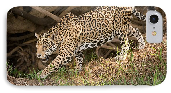 Jaguar Panthera Onca Foraging IPhone Case by Panoramic Images