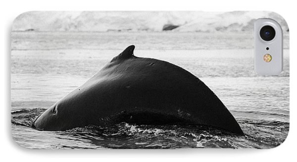 large male Humpback whale with arched back diving in Wilhelmina Bay Antarctica Phone Case by Joe Fox
