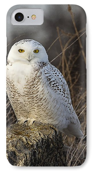 Late Season Snowy Owl IPhone Case