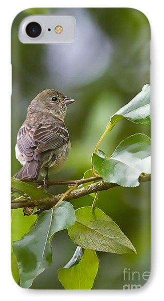 Lazuli Bunting Female 2 IPhone Case by Sharon Talson