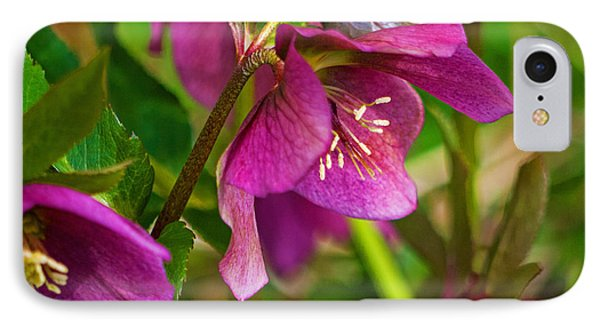 IPhone Case featuring the photograph Lenten Rose by Jordan Blackstone
