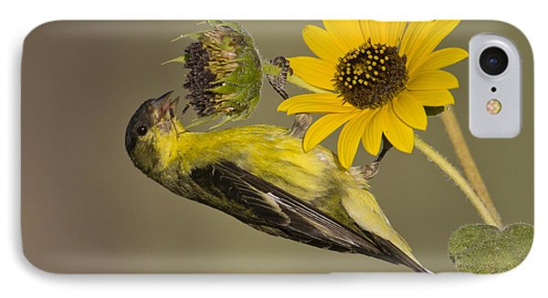 Lesser Goldfinch On Sunflower IPhone Case