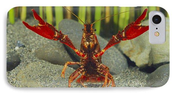 Louisiana Crayfish In Defensive Posture IPhone Case