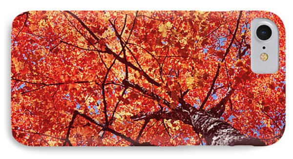 Low Angle View Of A Maple Tree, Acadia IPhone Case by Panoramic Images