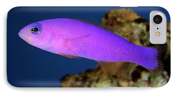 Magenta Dottyback IPhone Case by Nigel Downer