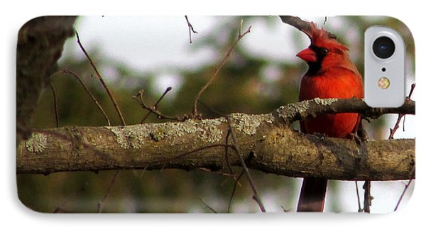 Majestic Cardinal IPhone Case by Kimberly Mackowski