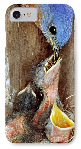 Male Bluebird Feeding Chicks IPhone Case by Millard H. Sharp