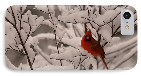 Male Cardinal Amongst Snowy Branches IPhone Case by Jane Axman