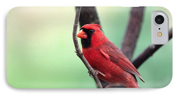 Male Cardinal IPhone Case by Thomas R Fletcher