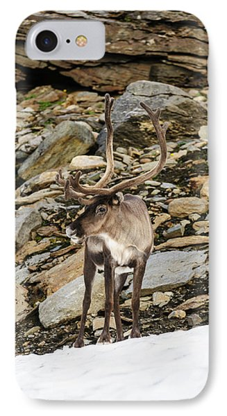 Norway, Troms Male Reindeer (rangifer IPhone Case by Fredrik Norrsell