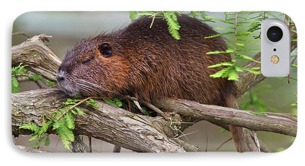Nutria (myocastor Coypus IPhone Case
