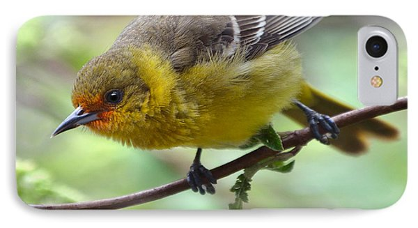 Orchard Oriole Female IPhone Case by Bruce Morrison