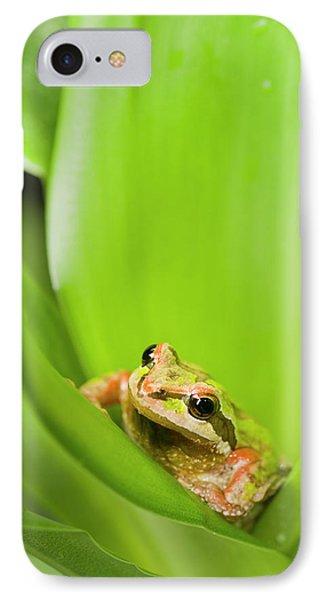 Pacific Chorus Frog  Pseudacris Regilla IPhone Case by Corey Hochachka